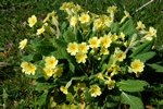 Primula veris x vulgaris